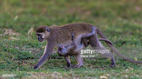 Vervet monkey carrying suckling baby