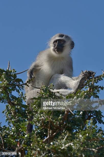 Vervet Monkey -Chlorocebus pygerythrus-, Addo Elephant National Park, Eastern Cape, South Africa