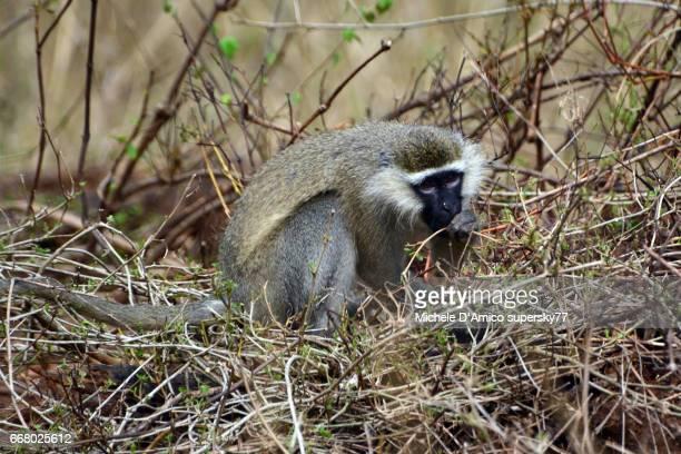 Vervet monkey eating in the dry grass