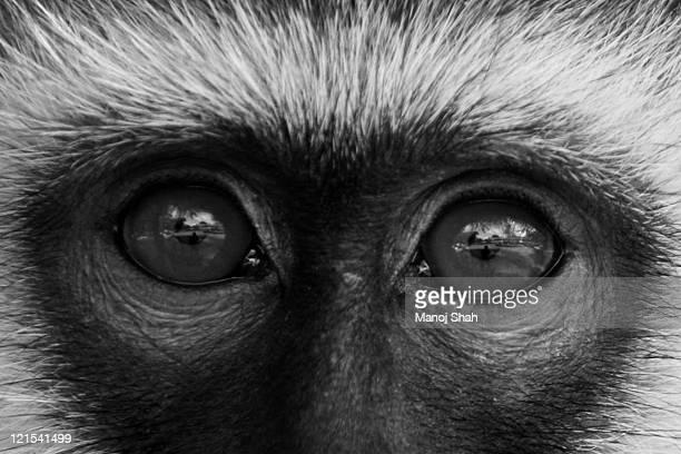 Vervet Monkey eyes