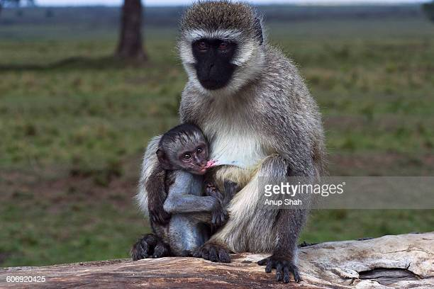 Vervet monkey female with suckling baby