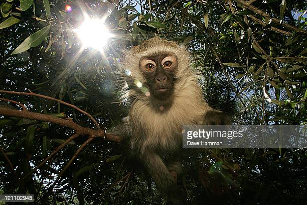 Vervet Monkey (Chlorocebus pygerythrus) in tree