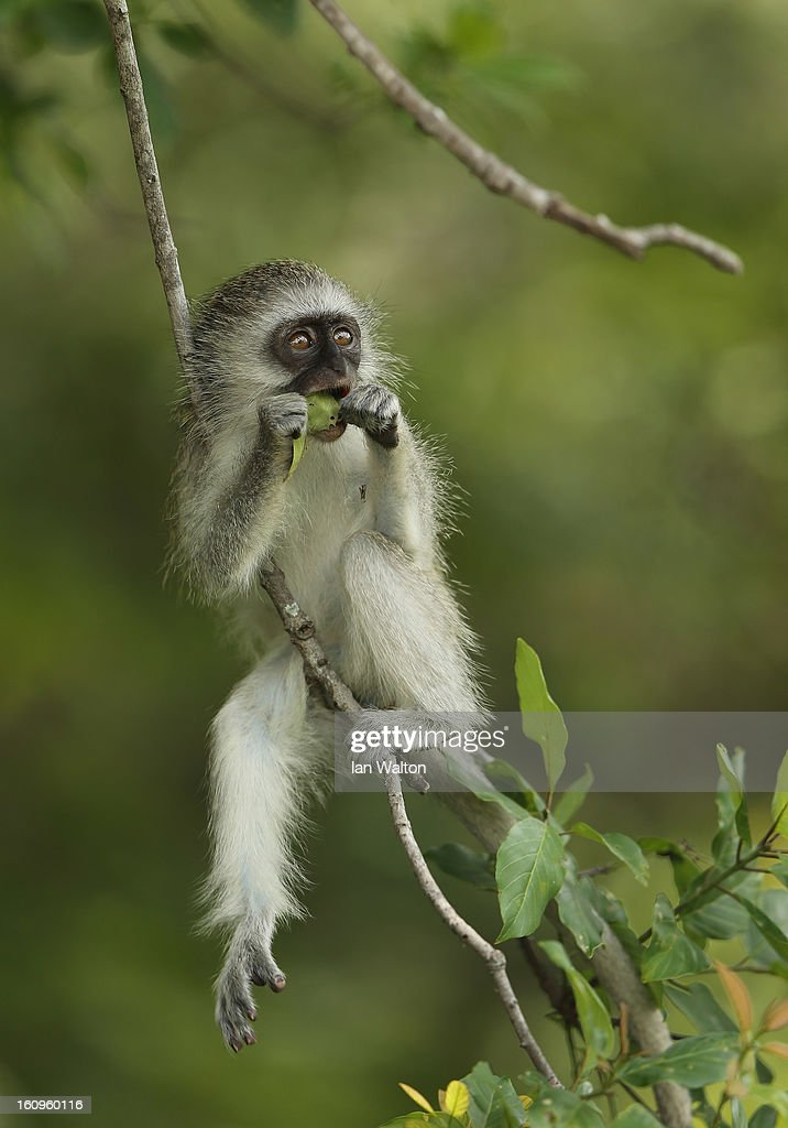 A vervet monkey is pictured in Kruger National Park on February 6, 2013 in Skukuza, South Africa.