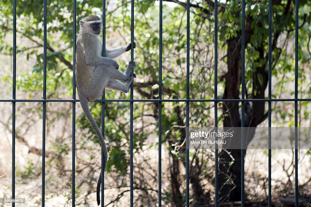 A vervet monkey is pictured on November 20, 2012, in Victoria Falls in Zimbabwe.