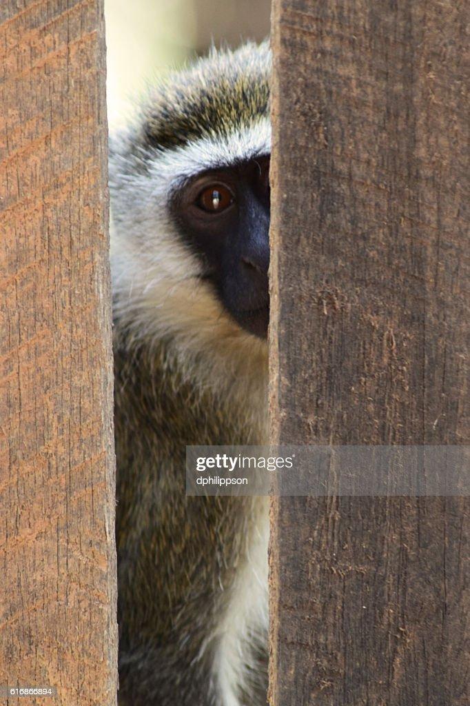 vervet monkey looking through wooden fence : Stock Photo