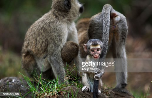 male vervet monkey. vervet monkey male baby playing with mums tail stock photo | getty images