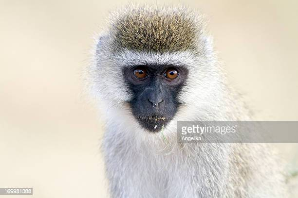Vervet monkey, Nakuru National Park, Kenya