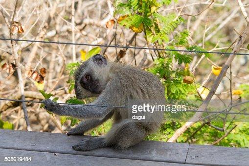 Vervet monkey playing around the dinning area : Stock Photo