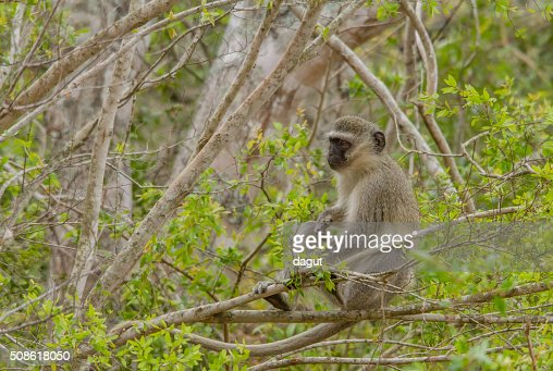 Vervet monkey resting on a tree : Stock Photo