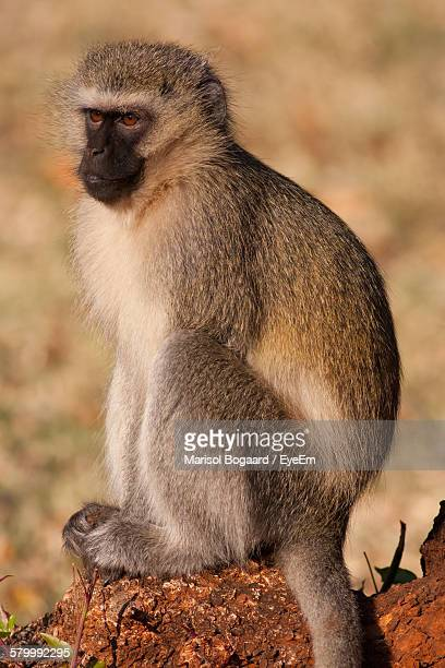 Vervet Monkey Sitting On Wood