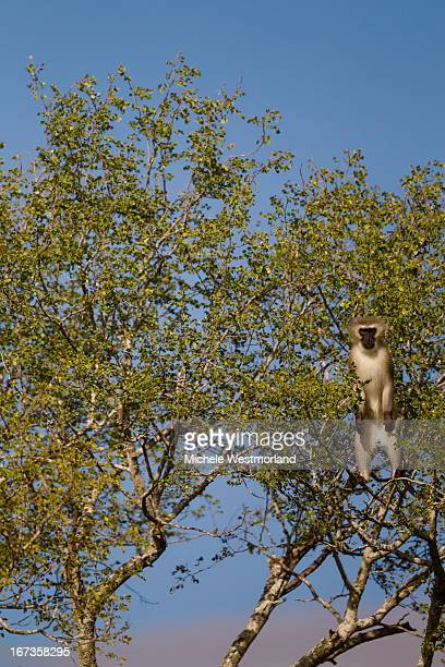 Vervet Monkey, South Africa.