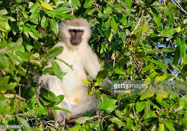 Vervet Monkey - South Africa