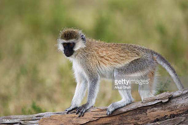 Vervet monkey standing on a fallen tree - portrait