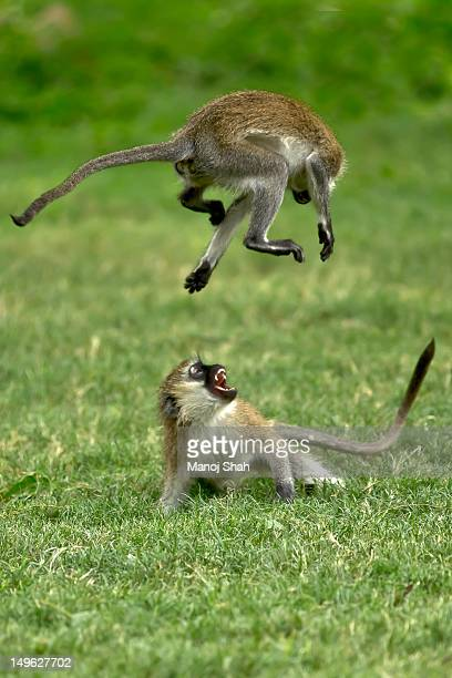 Vervet monkeys play fighting.