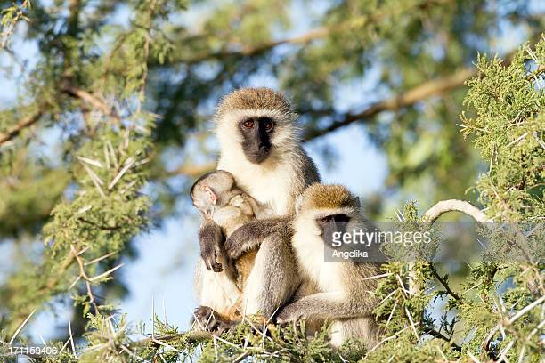 Vervet monkeys with a baby up on the tree