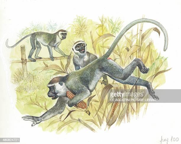 Vervet or Green Monkeys stealing corn illustration