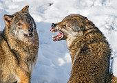 Very angry wolf!