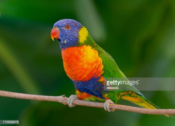 A very colorful lorikeet bird resting on a small branch
