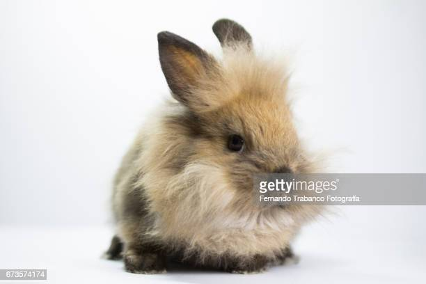Very hairy brown dwarf rabbit, Oryctolagus cuniculus domesticus
