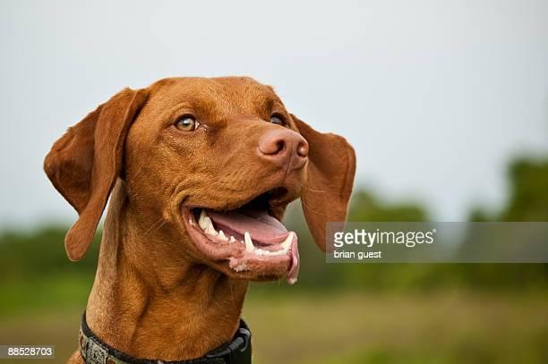 very happy vizsla  dog