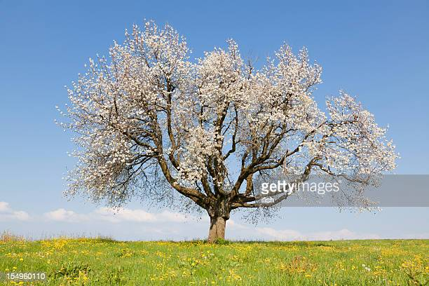 Very Old Flowering Cherry Tree Under Blue Sky, Central Switzerland