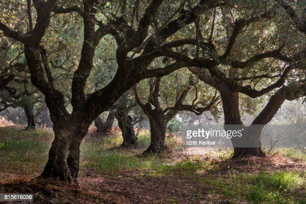 Very old olive trees are seen everywhere in Zakynthos ,Ionian islands, Greece