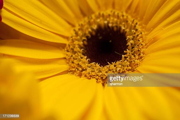 Very Tight In Close up of a Bright Yellow Daisy