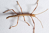 Very young walking stick (approximately 1 centimer long)