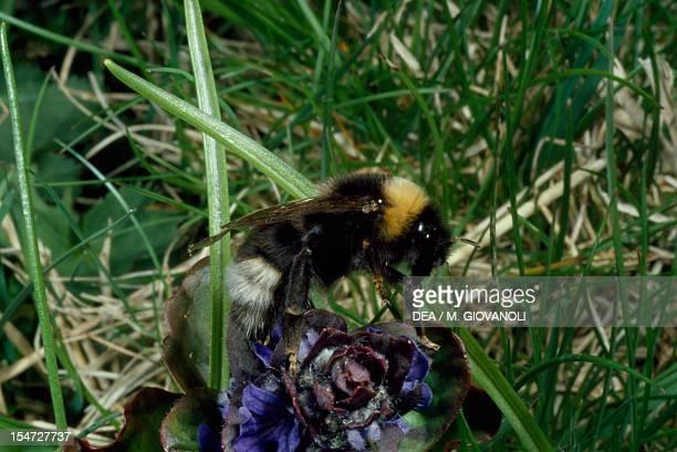 Vestal cuckoo bumblebee Apidae