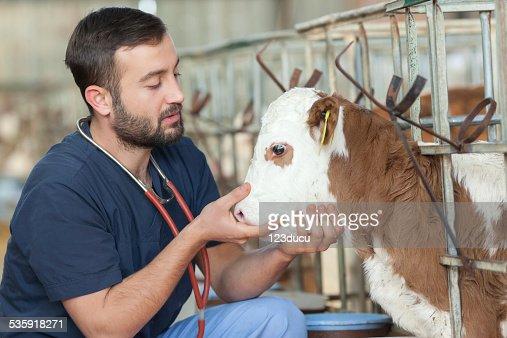 Vet and calf : Stock Photo