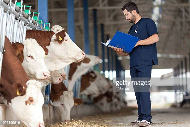 Vet And Cows