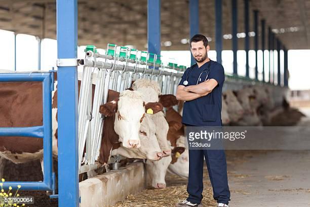 Veterinario mucca e Simmental