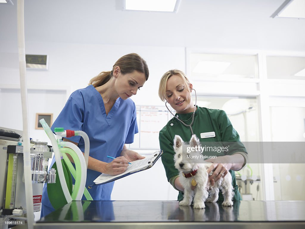 Vet and veterinary nurse wearing stethoscope examining small dog in veterinary surgery practice, vet making notes on clipboard : Stock Photo