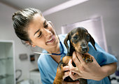 Pretty vet at her clinic checking a baby dachshund's heart with a stethoscope while she smiles very happy