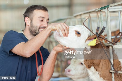 Veterinario comprobación de vaca : Foto de stock