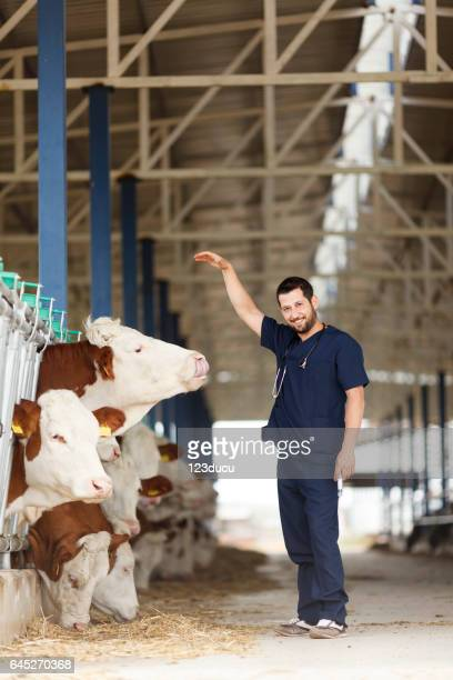 Vet Checking Cows Into to Barn
