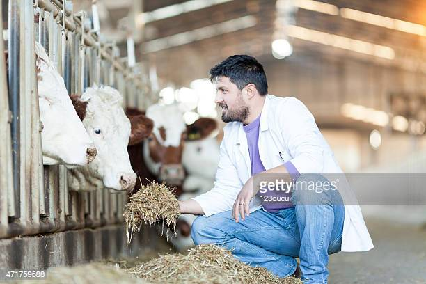 Vet Feeding Cows
