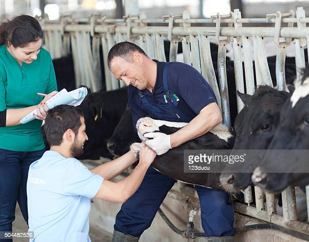 Vet Working In The Barn