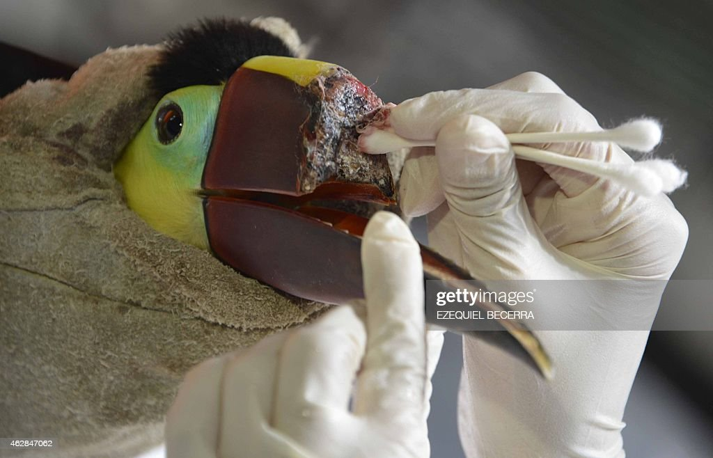 Veterinarian Carmen Soto in charge of an animal rescue centre in La Garita Alajuela 45 km north of San Jose cures a toucan that lost the upper half...