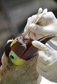 Veterinarian Carmen Soto in charge of an animal rescue centre in La Garita Alajuela 45 km north of San Jose cures a toucan that lost the upper half...