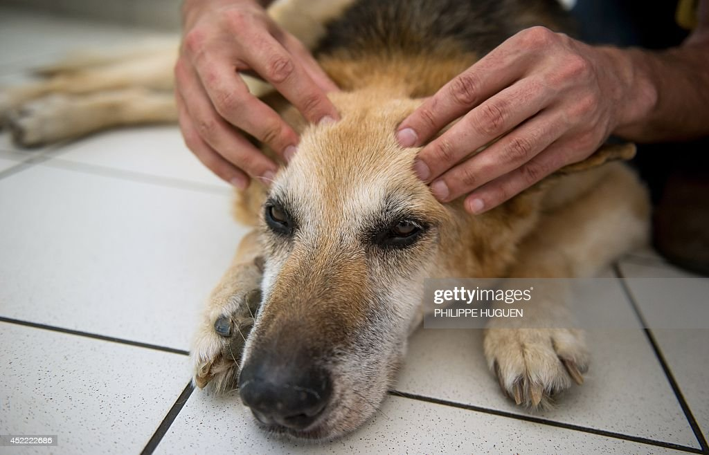 A veterinarian checks a dog during an session of osteopathy in Bain-de-Bretagne, western France, on July 16, 2014. AFP PHOTO / PHILIPPE HUGUEN