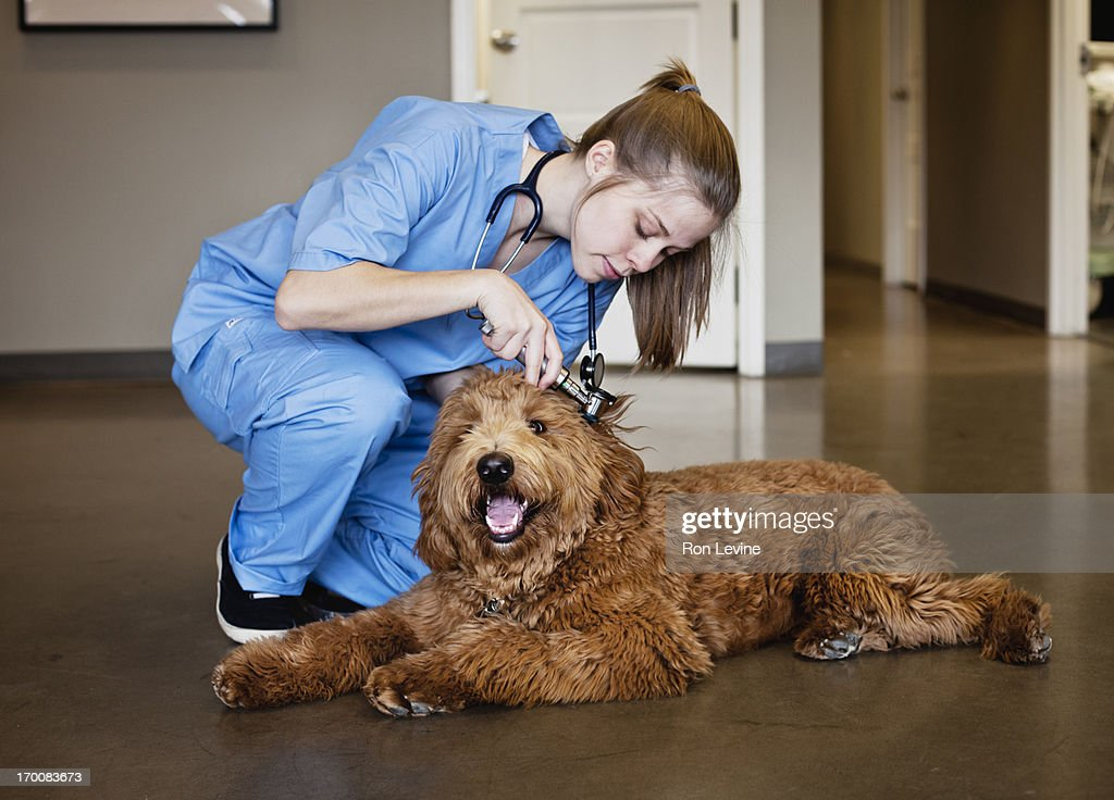 Veterinarian doing a check-up on a Labra-doodle : Stock Photo