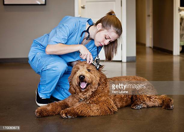 Veterinarian doing a check-up on a Labra-doodle