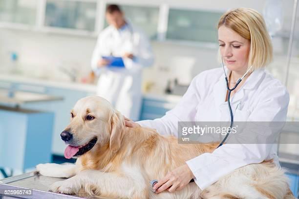 Veterinario examinar un perro