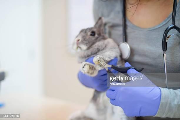 Veterinarian examining a rabbit