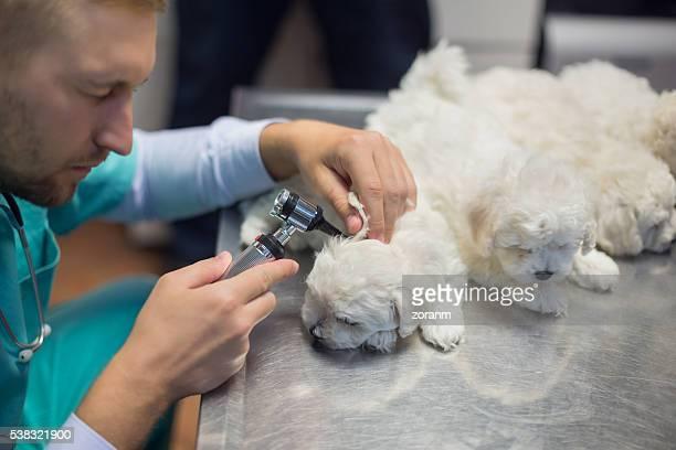 Veterinarian examining dog's ear