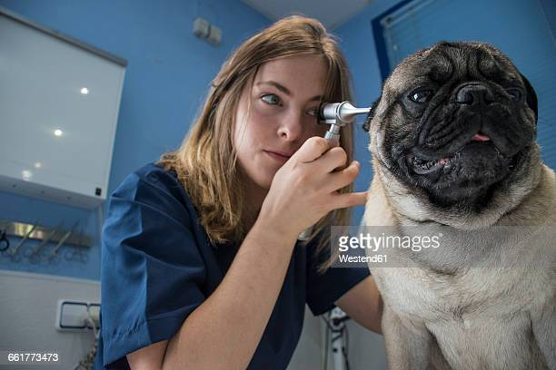 Veterinarian examining ears of a dog with an otoscope in a veterinary clinic