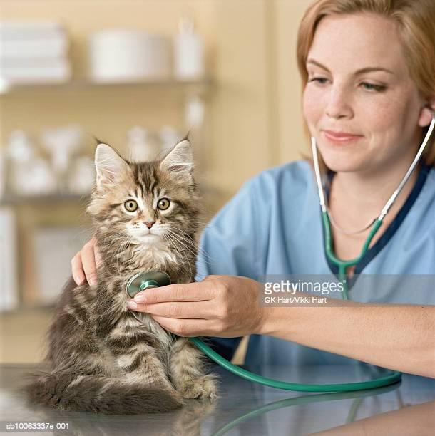Veterinarian examining Maine Coon Kitten, close-up