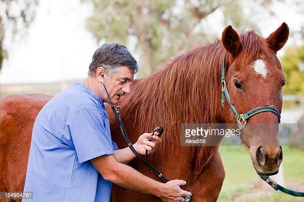 Tierarzt untersuchen the horse