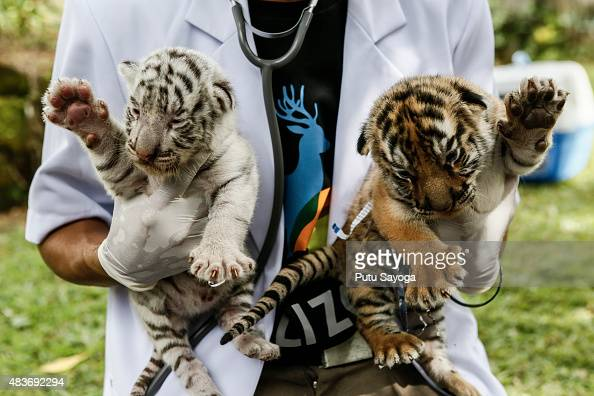 A veterinarian handles two new born Bengal tiger cubs at Bali Zoo on August 12 2015 in Gianyar Bali Indonesia The Bengal tiger cubs were born on...